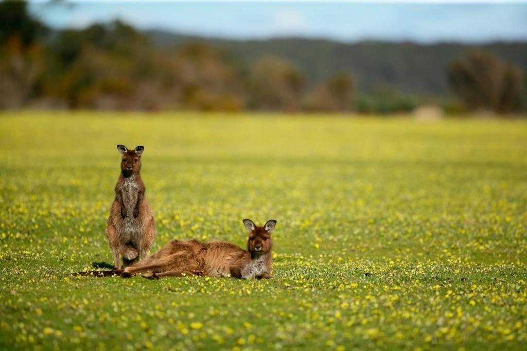 Kangaroos_003