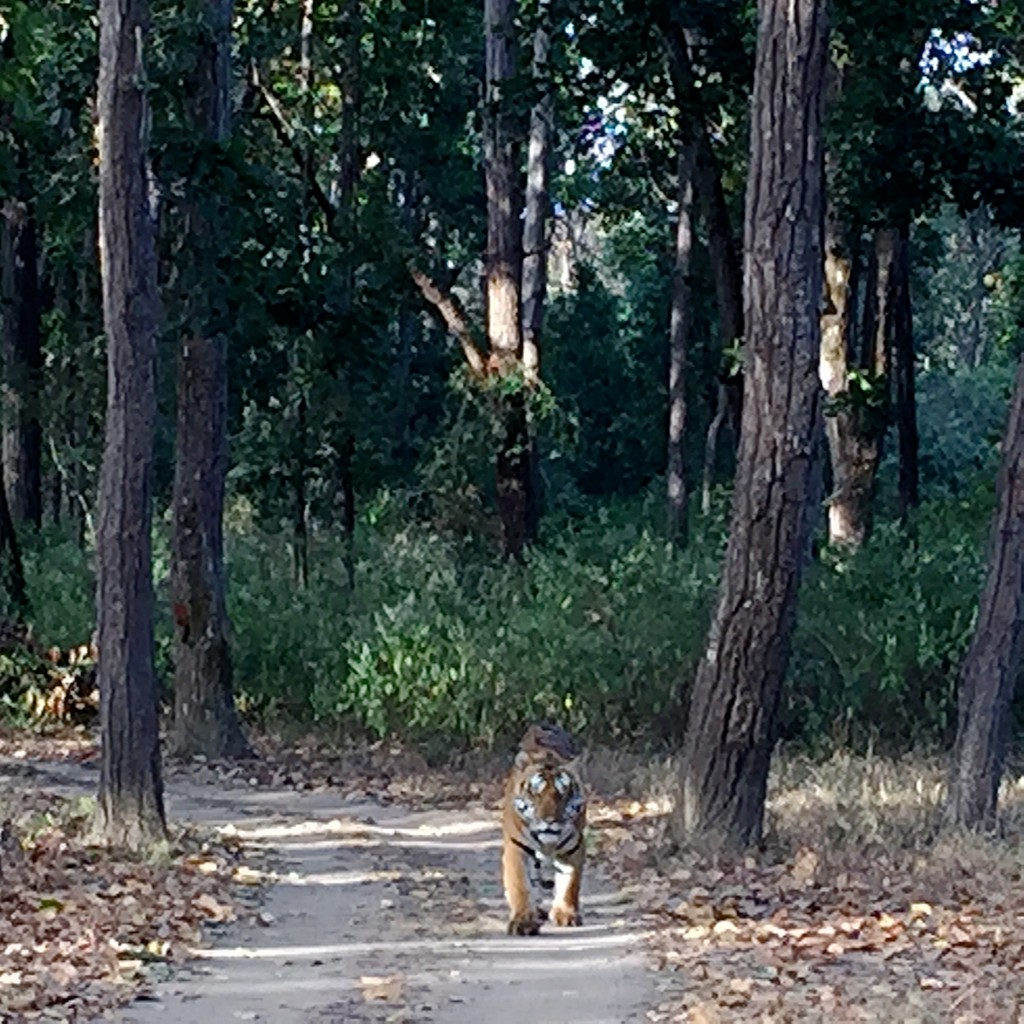 we had the unbelievable good fortune of spending 30 minutes, alone, with Awrai, a large male. We encoutered him basking on the track in the morning sun. After some grooming, he came walking towards us and waited, on three separate occasions, for us to back up so he could proceed along the trail
