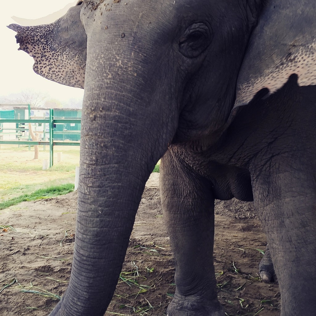 Another rescued elephant that was struck on the highway at night and left for dead